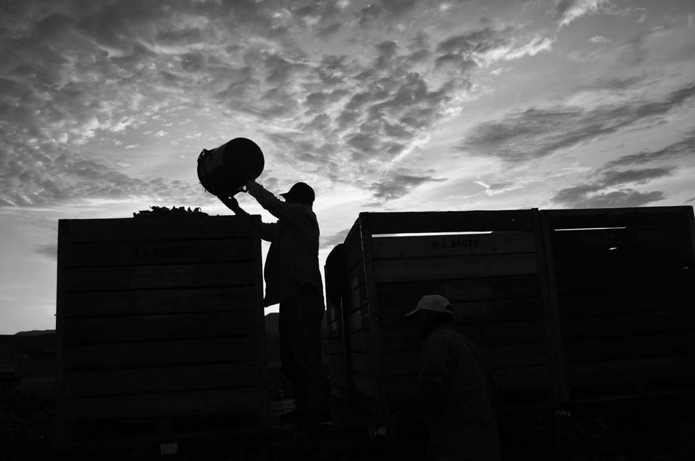 Buckets of chile are dumped into large crates. —Credit: Joseph Sorrentino